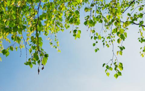 桦树在春天