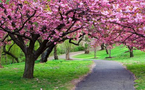 公园,樱花,春天在花园里