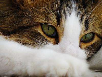 绿色的猫的眼睛