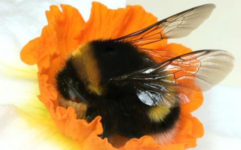在一朵橙色花的大黄蜂
