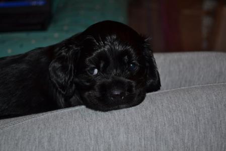 美丽的可卡犬美丽的小狗