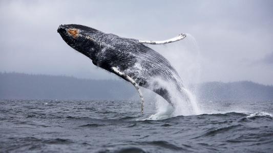 鲸鱼跳出海水