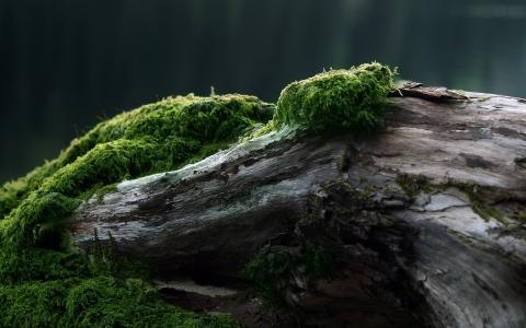 青苔生长在一棵干树上