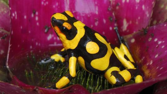 在花的黑色黄色青蛙