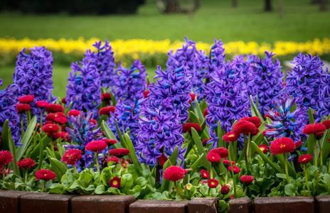 紫色风信子和红色雏菊在花圃里