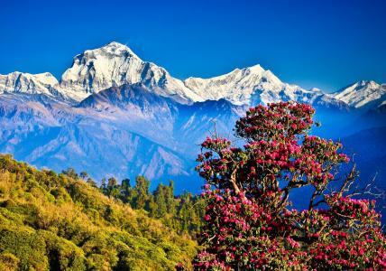 开花的树在喜马拉雅山