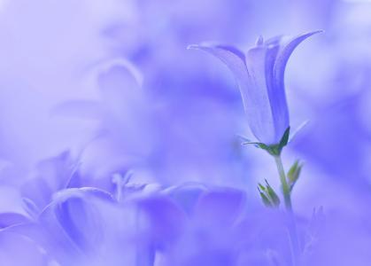蓝色背景上的蓝铃花