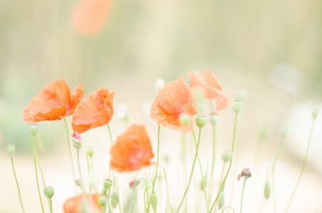 罂粟在夏天的阳光下