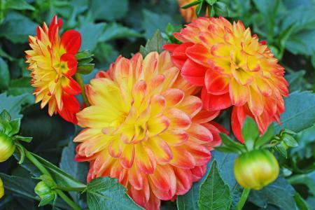 三个美丽的橙色大丽花