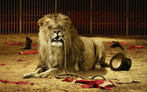 狮子吃了教练