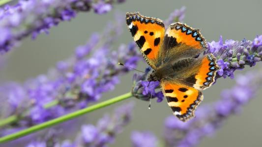 布朗蝴蝶坐在薰衣草花上
