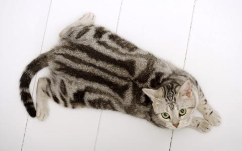 美国短毛猫在地板上