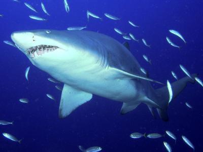 危险的老虎鲨鱼