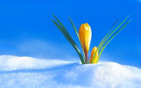 春黄番红花穿过雪地