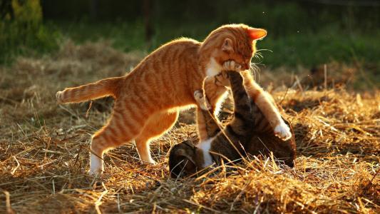 红色和灰色的小猫玩干草地上