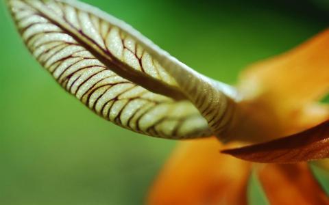一朵耳朵的叶子,花