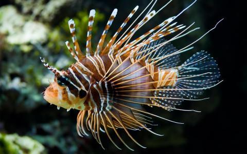 夜光珊瑚鱼