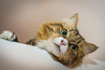 温顺慵懒的猫咪