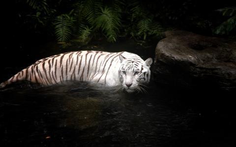 老虎在河里