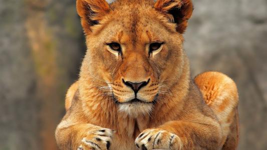 一只年轻的狮子看着相机