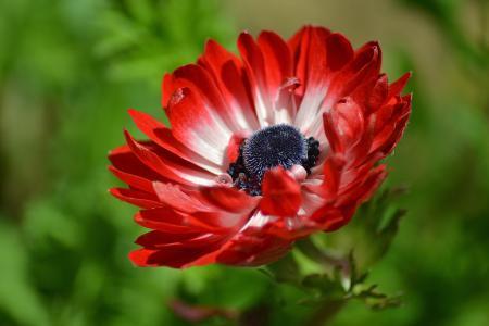 美丽的红色莲花花特写