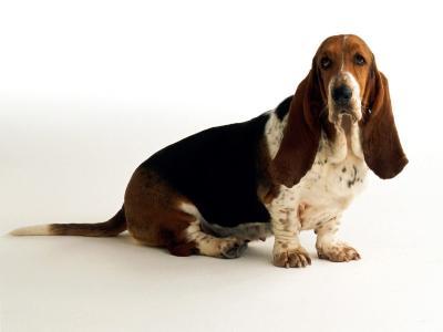 在白色背景的哀伤的贝塞猎狗