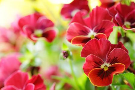 美丽的红色蝴蝶花在清除