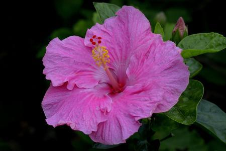 大美丽的粉红色芙蓉花