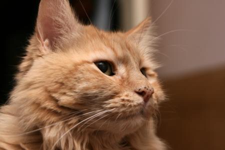 红头发的成年猫缅因浣熊