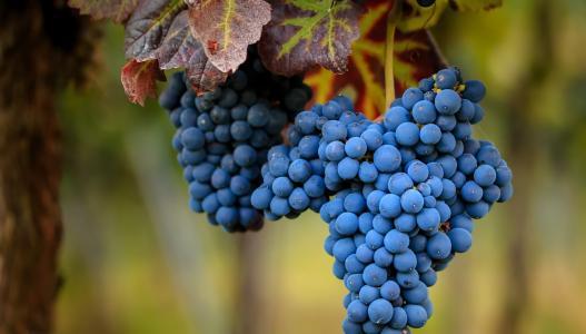 大束成熟的蓝色葡萄