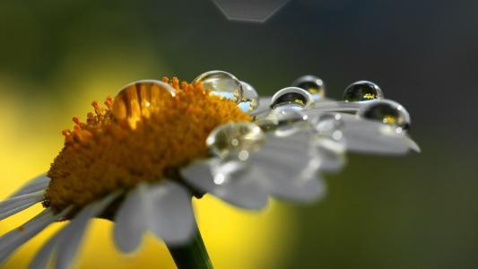 露水的雏菊