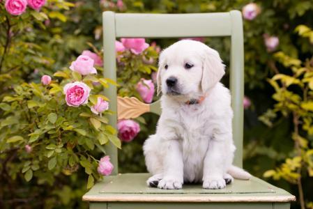 一只金毛猎犬的小狗坐在椅子上