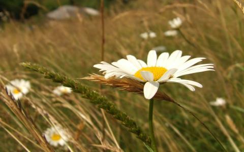 白色的雏菊,绿草,雏菊花瓣,耳朵,七月