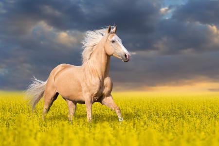 美丽的马跳过与黄色花的领域反对美好的天空背景