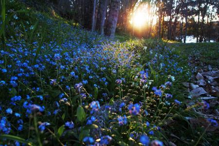 林间空地与勿忘我在森林里