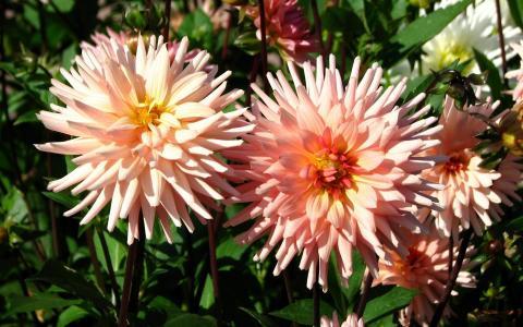 美丽的粉红色大丽花在阳光下花床上