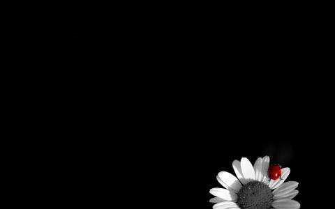 在雏菊的瓢虫