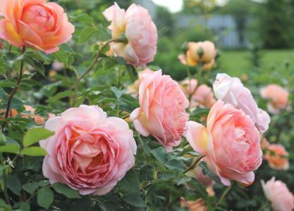 美丽的灌木玫瑰在花园里