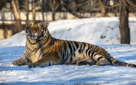 一只大优美的老虎躺在雪地上