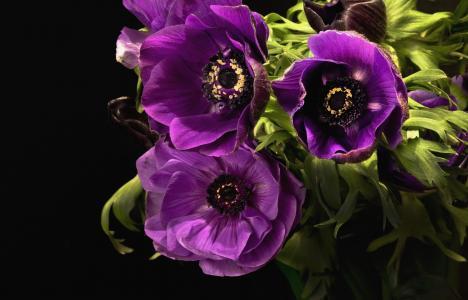 紫罗兰色花海葵特写