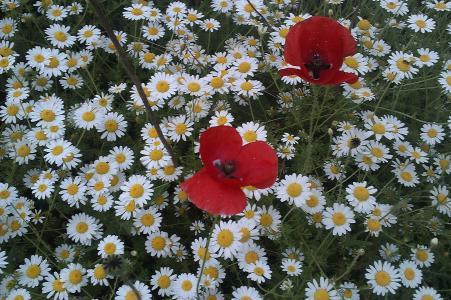 雏菊花与红罂粟