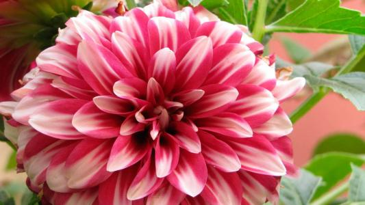 美丽的花翠菊在花园里