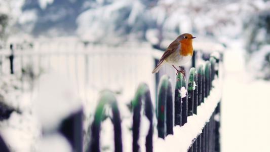 在冬天的鸟类罗宾