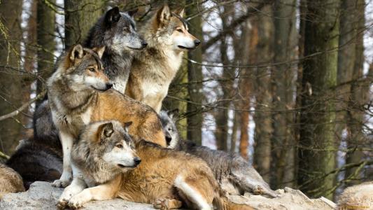 一群狼在森林里