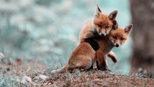 两只可爱的狐狸