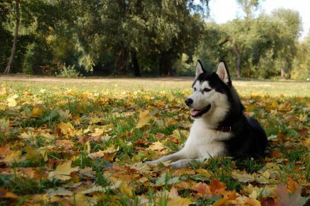 在秋叶的阿拉斯加的爱斯基摩狗
