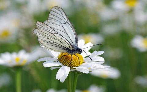 洋甘菊上的白色蝴蝶