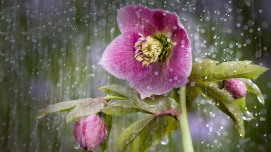 在雨中的粉红色莲花花