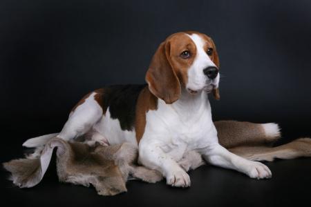 一只哀伤的小猎犬狗在灰色背景说谎