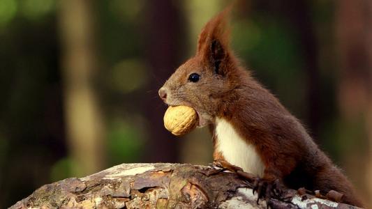 松鼠与坚果在牙齿中